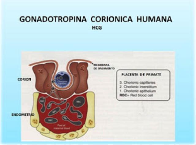 Resultado de imagen de Gonadotropina coriónica humana