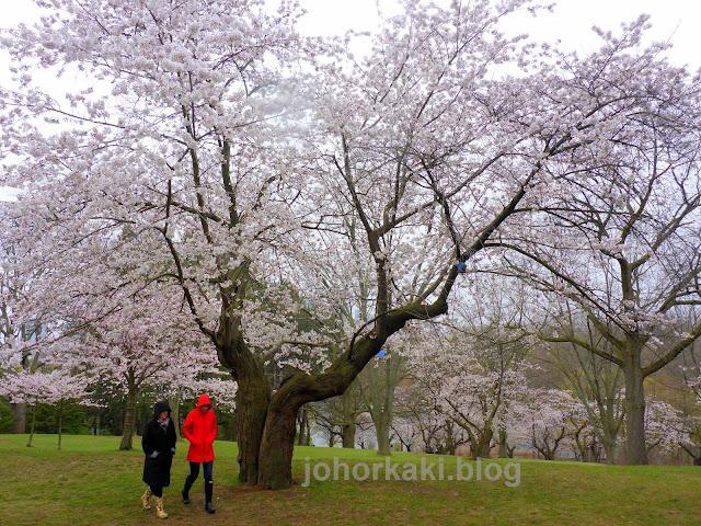 Cherry-Blossoms-High-Park-Toronto-Spring-2017-🌸