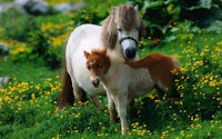 Shetland Isles Horse