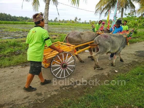 Every once a year, held the buffalo race (Makepung) which is very prestigious in Jembrana.