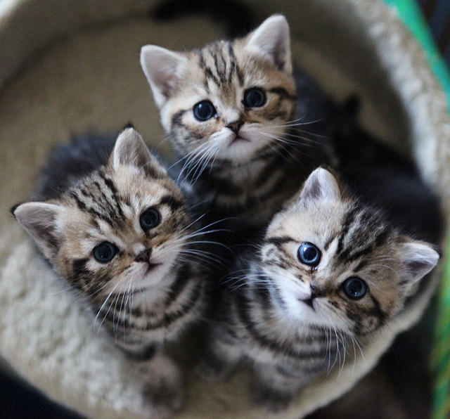 How much does a British Shorthair Kitten Cost? - Annie Many