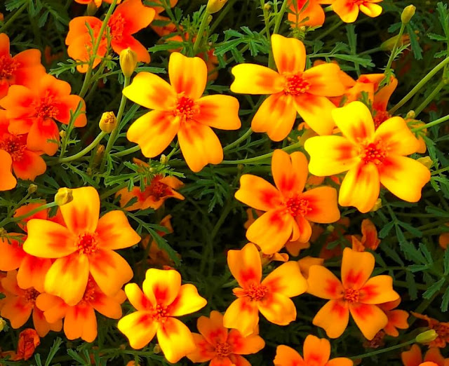 Tagetes Tenuifolia, Lemon Marigold - Tangerine Gem