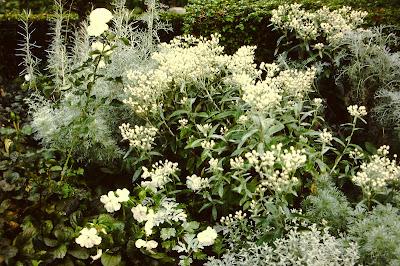 stauder med hvide blomster