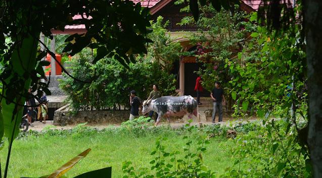 Tedong Bonga, Kerbau tidak bisa dipisahkan dari ritual Toraja. Rambu Solok Tana Toraja || jelajahsuwanto