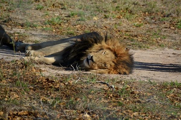 Löwe im Schatten, schläft