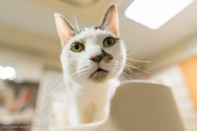 ぬーんって感じでカメラを見つめている猫のアップの写真