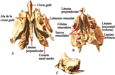 Anatomía CraneoFacial : noviembre 2016