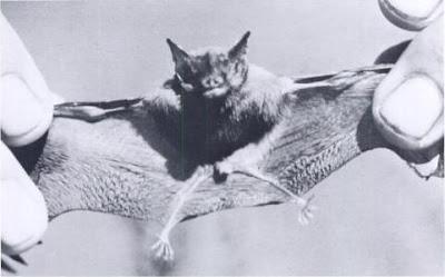 kitti's-hog-nosed-bat-خفاش-طنان