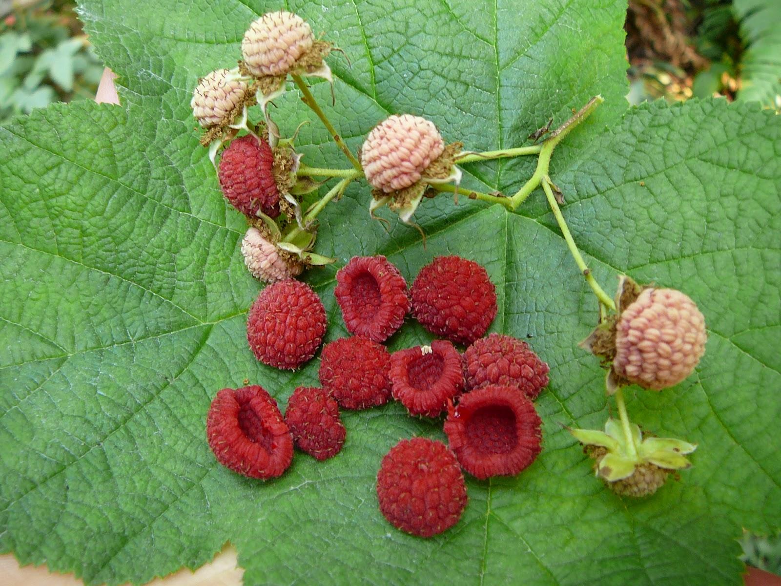 Raspberry Bush Images