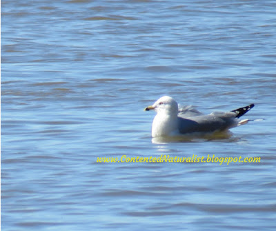 A Ring-billed Gull sits on the Potomac River