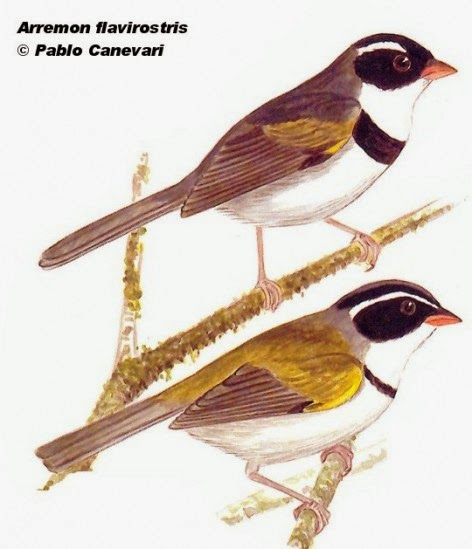 Saffron billed Sparrow