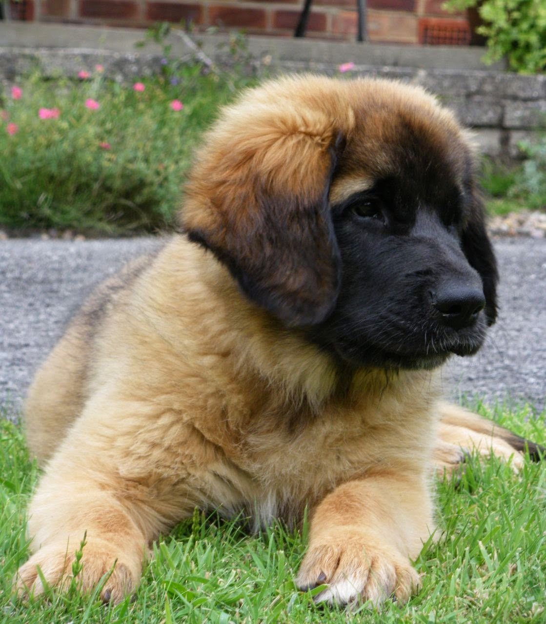 Leonberger puppy; big ball of floof!~ And yet, take a look ... |Leonberger Dogs And Puppies