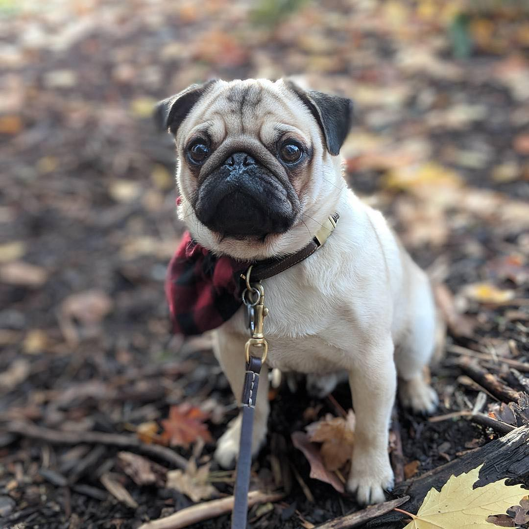 Pug Puppies HD Wallpapers