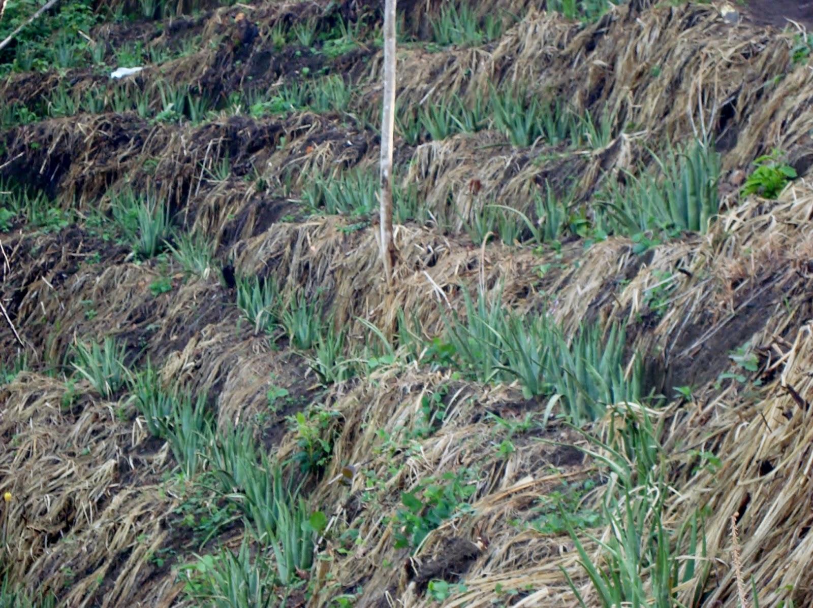 Alianprocol Solo Aloe Cultivo De Aloe Vera En Terrazas