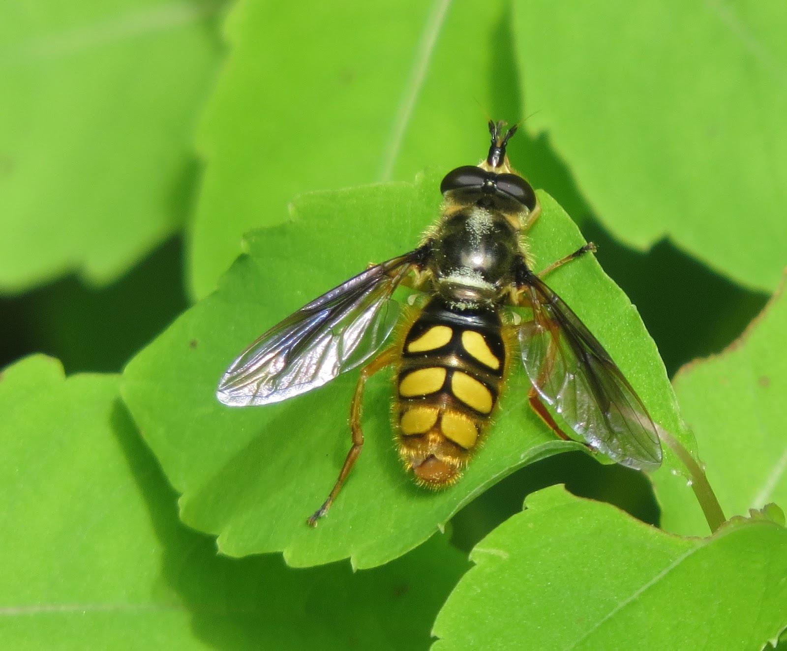 bug eric eight illinois wasp and bee mimics in twenty minutes