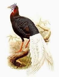 Bulwer´s Pheasant