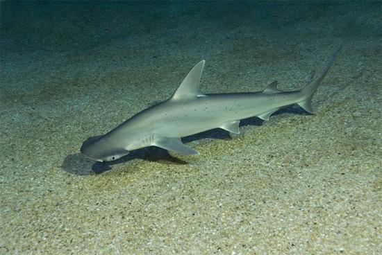 Tubarão espécie Sphyrna tiburo