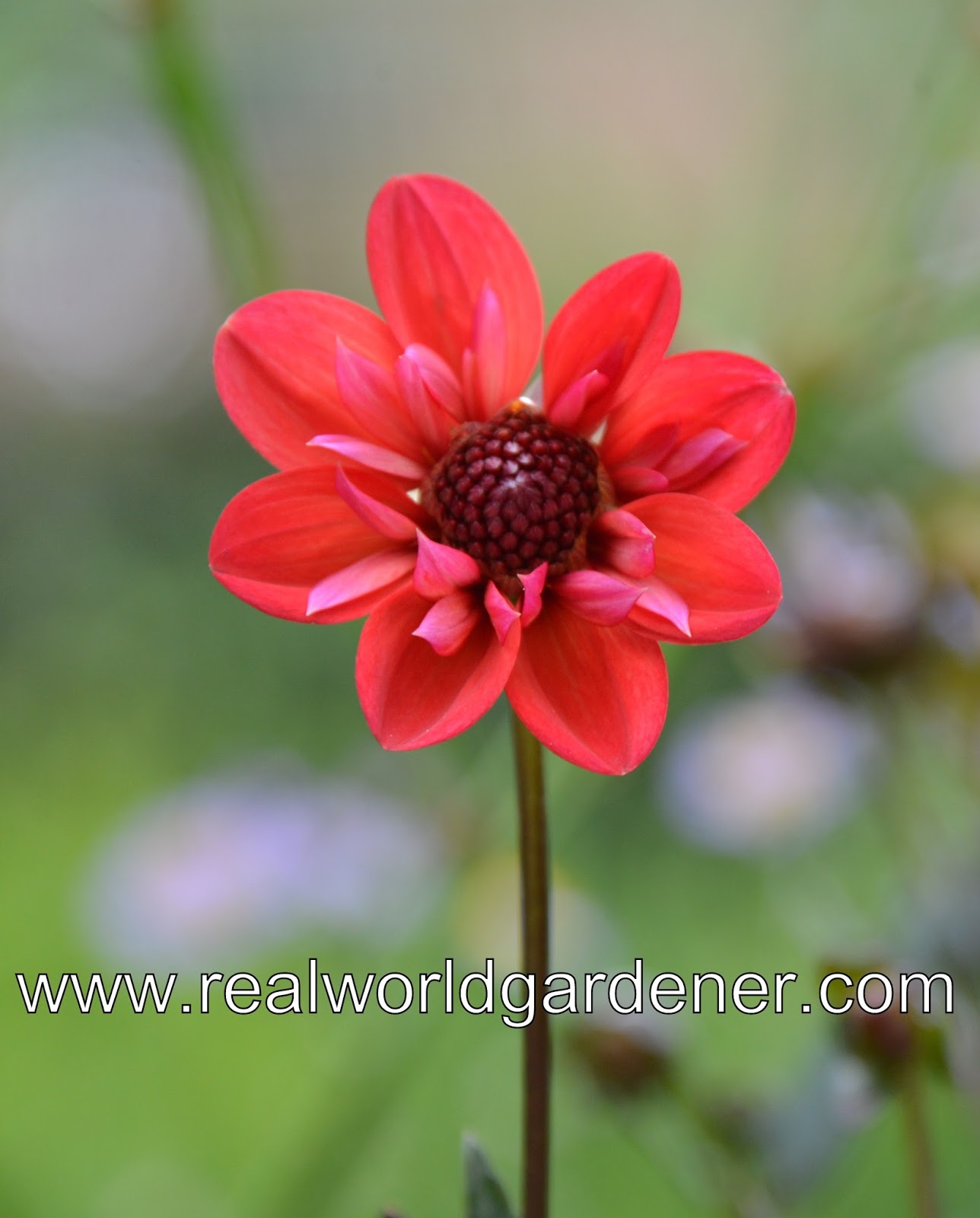 Real world gardener the queen of autumn flowers you can leave your dahlia tubers in the ground in warmer arease black leaf variety dahlia summer days are not as susceptible to powdery mildew and izmirmasajfo