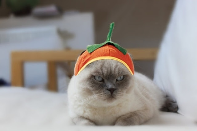 Angry Halloween Pumpkin Cat Picture