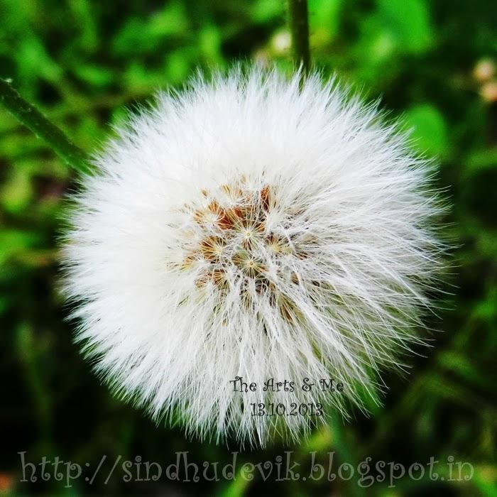 False Dandelion or Hawk's Beard Seeds