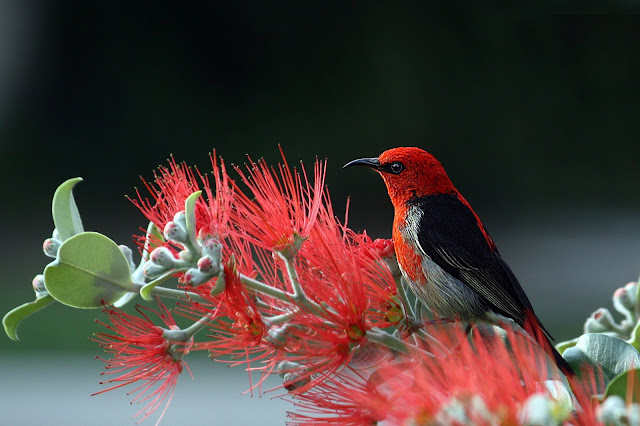red  Scarlet Honeyeater Bird HD Wallpaper