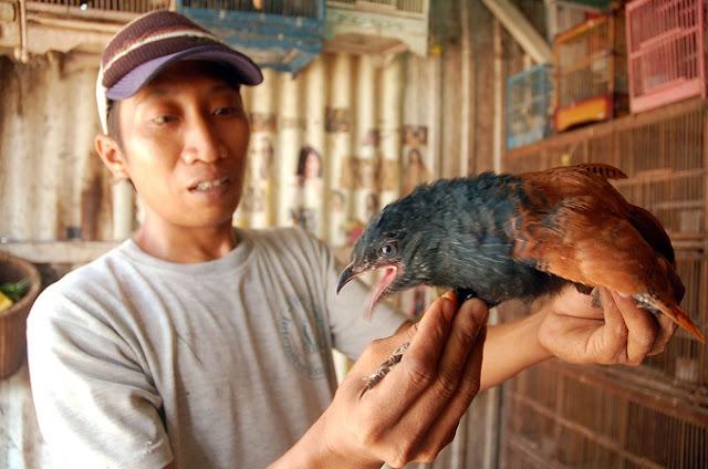 Energi Penyambung Tulang dari Burung Bubut