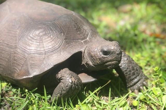 Rùa Gopher - Gopher Tortoise