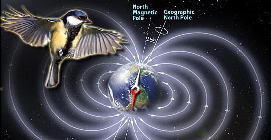 6º sentido dos pássaros é finalmente confirmado pela ciência
