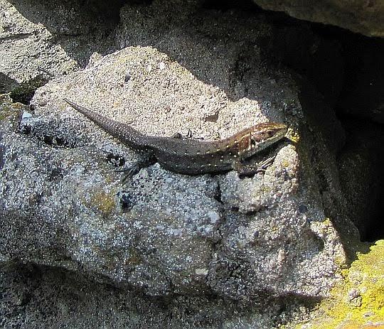 Jaszczurka zwinka (Lacerta agilis).