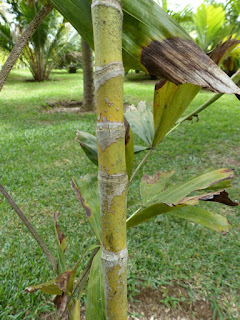 Hydriastele pinangoides - Gronophyllum pinangoides