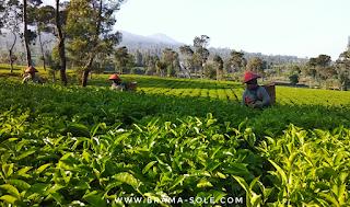 pemetik teh di kebun teh tambi