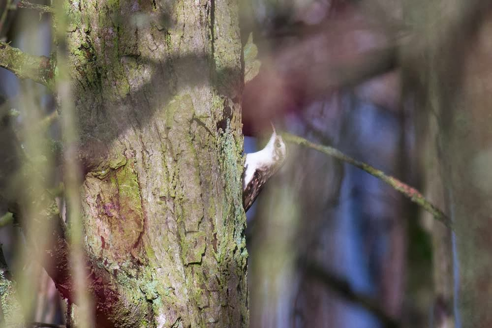Treecreeper - possibly my worst photo of the day but the bullfinch came close!