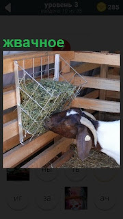 В загоне стоит корова жвачное и ест сено, закрепленное в сетке на стене