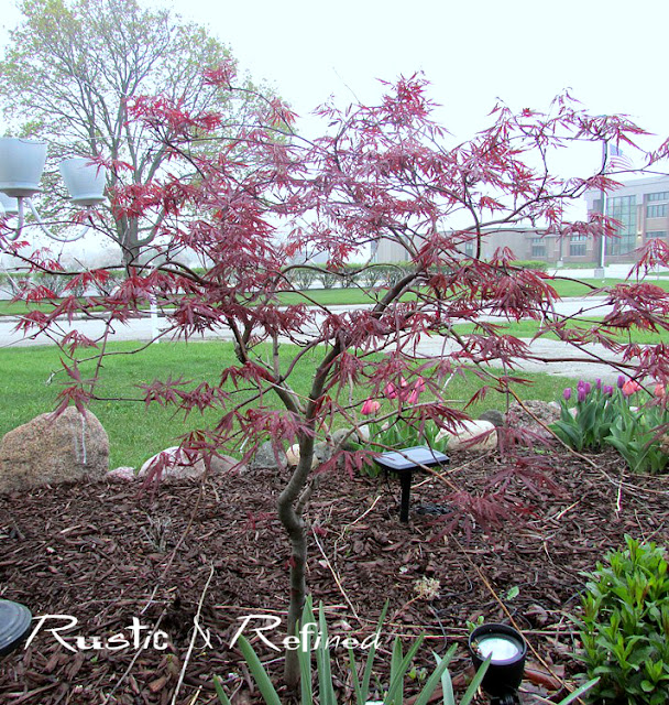 Spring garden showing a Japanese Maple Tree
