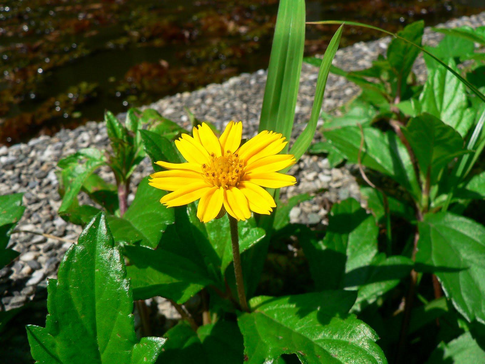 師大附中校園生物資訊網: 野生植物-雙子葉-菊科-南美蟛蜞菊