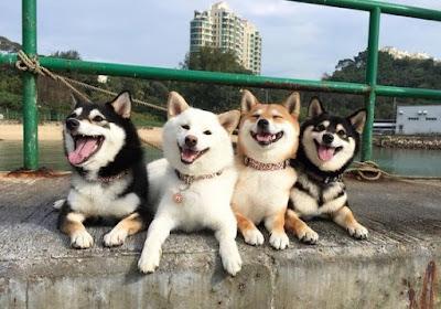 Shiba Inu Dog Colours