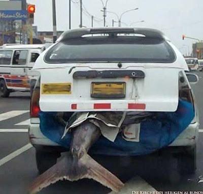 riesiger Fisch im Auto - Nach Angeln nach Hause fahren