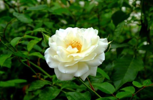 setangkai bunga mawar putih