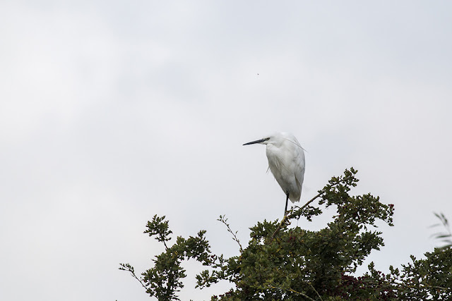 Little Egret sat in bushes