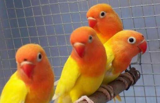 Jenis Lovebird Pastel Kuning