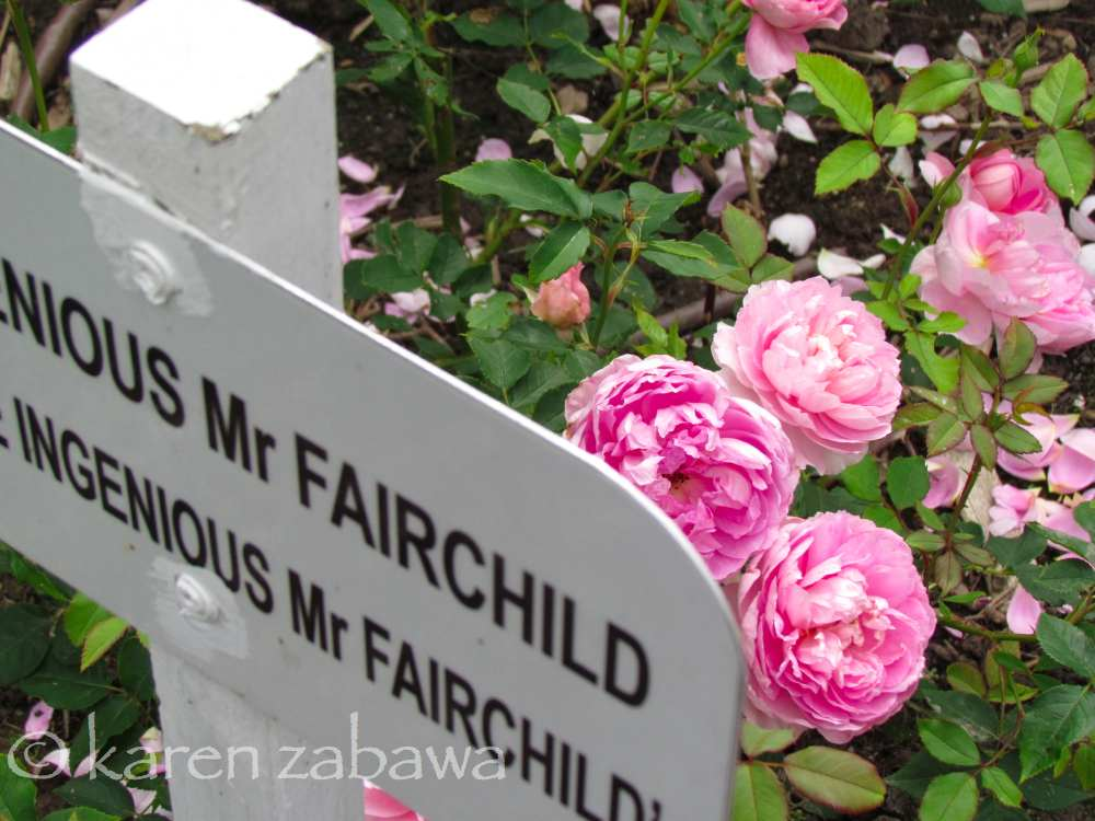The Ingenious Mr Fairchild David Austin Rose