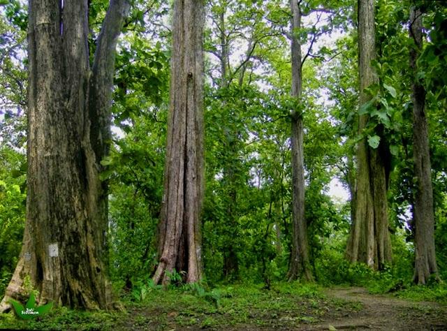 pohon-jati-alami