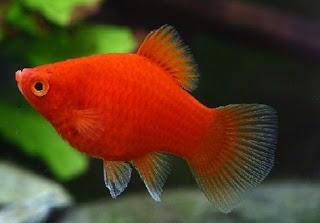 Gambar Ikan Red Platy
