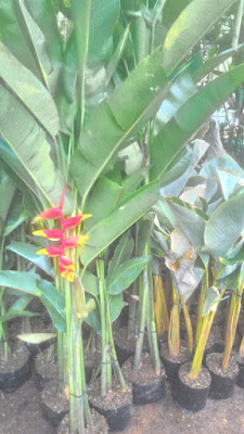 Jual Pohon Pisang Betet | Pohon Pisang Bali | Jasa Tukang Taman Di bogor