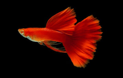 Ikan Guppy Red Blonde
