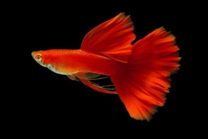 Daftar Ikan Guppy Termahal dan Tercantik Paling Populer