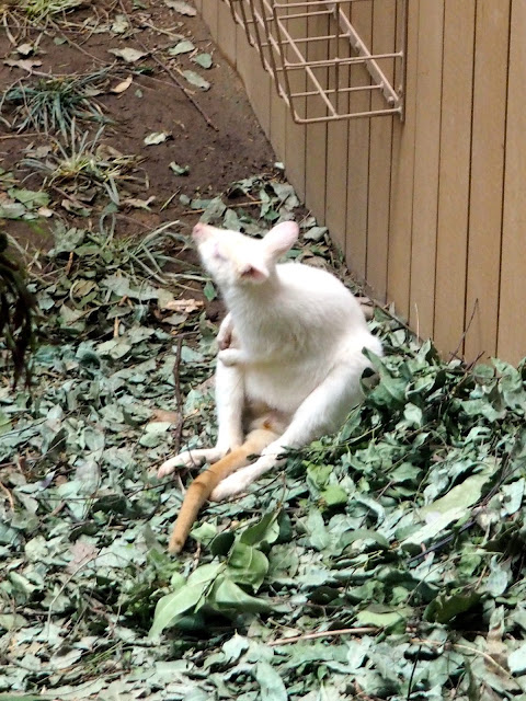 Albino wallaby in the Australia exhibit of Ocean Park, Hong Kong