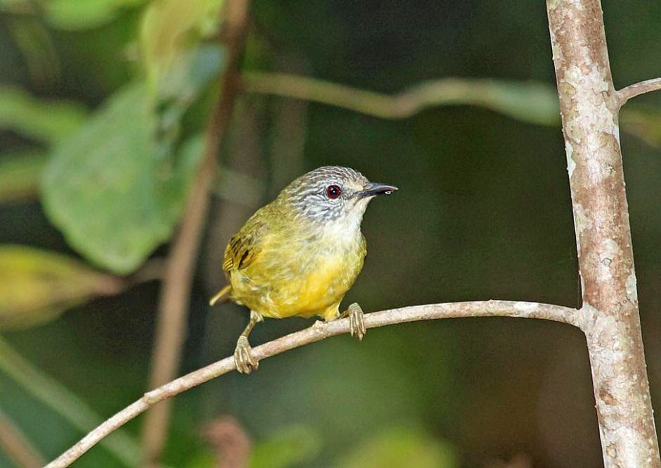 Streaky-headed White-eye