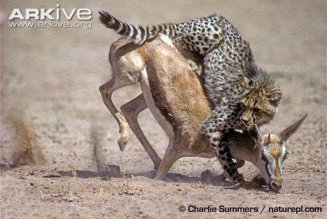 Guepardo caza Antilope