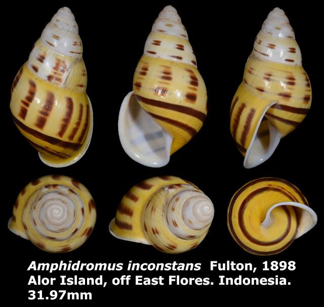 Amphidromus inconstans 31.97mm